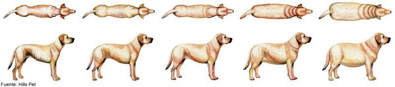 visual de perros con bajo peso a obesidad en perros Perritorio.com