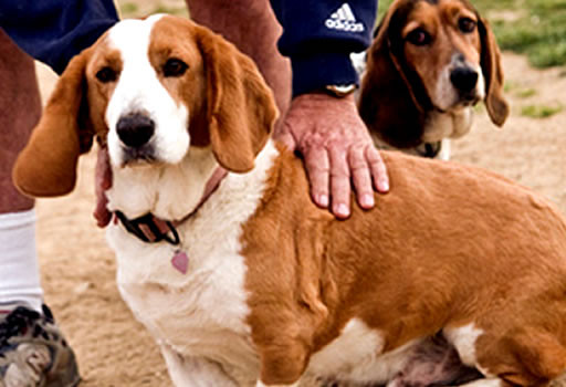 palpar las costillas obesidad en los perros